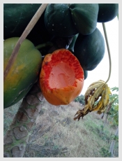 Ripening - as natural as it gets