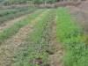 Cover cropping with legumes at NaturePinks