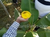 Pheromone insect trap at work to protect your fruits