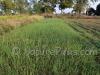 NaturePinks Organic Garlic and Onion Crop