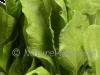 Organic Palak Leaf